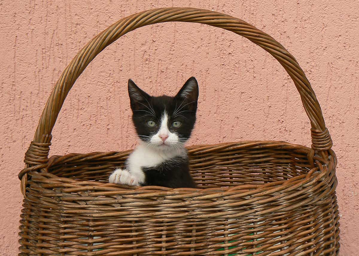 cat in basket photo