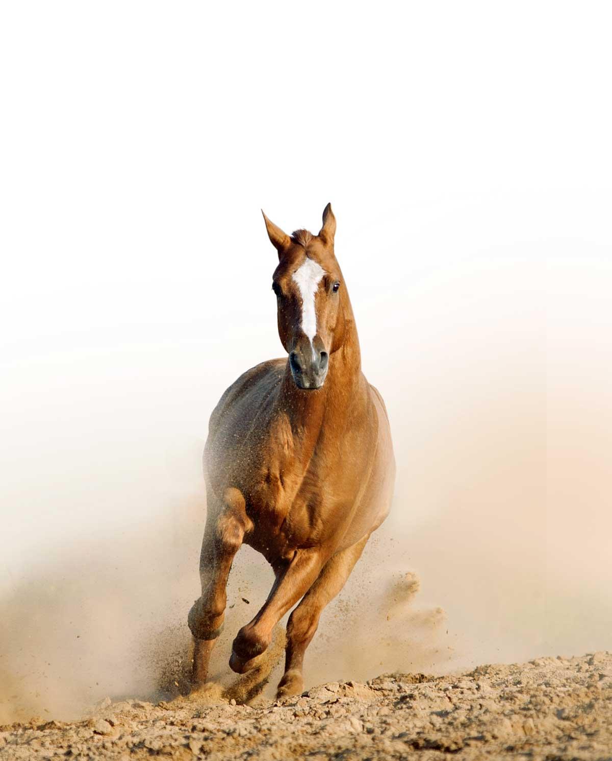 photo chestnut horse r...